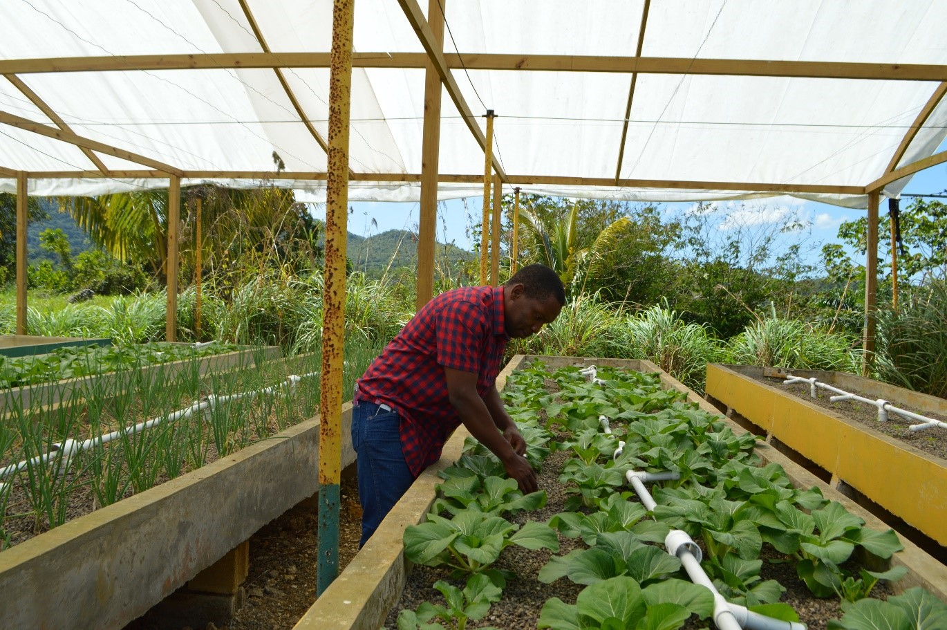 Man in red plaid shirt in aquaponics greenhouse checking crops