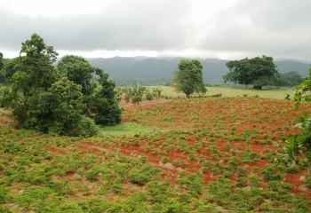 Agriculture field in Jamaica